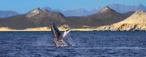 Whales Sea of Cortez