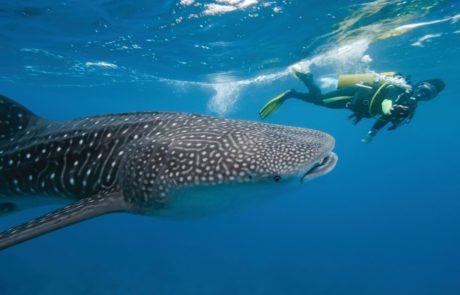 Whale Sharks La Paz