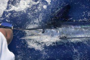Marlin Fishing Los Cabos