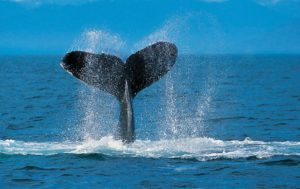 Whale Diving Cabo