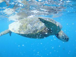 Sea Turtle Los Cabos