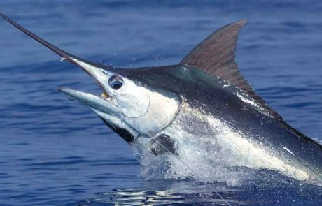 Blue Marlin Cabo Fishing, Black marlin Cabo Fishing, Cabo trophy fishing, Cabo San Lucas Blue Marlin, Cabo San Lucas Black Marlin